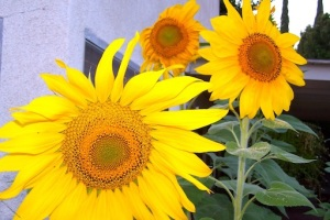 Sunflowers in the backyard